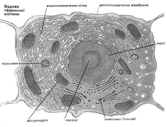 Клітина анатомічна будова реферат